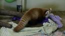 Baby Red Panda Tuck Ins