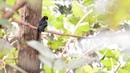 Райский дронго / Greater racket-tailed drongo (Dicrurus paradiseus)