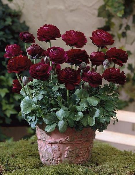 РАНУНКУЛЮС ПУРПУРНЫЙ - непростой садовый лютик Забавные садовые растения ранункулюсы или, как их ещё называют, лютики, - это травянистые многолетники с простыми и густомахровыми цветками