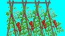 TOMATES 1 3 Plantation Renforcer vos tuteurs