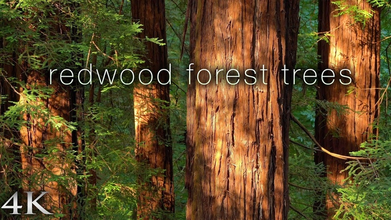 4K Redwood Forest Trees 1 HR Nature Relaxation Static Scene from California