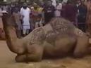 Interesting Facts Camal Beautiful Camel Qurbani of Sheikh Sana Ullah Dohraji Karachi at Adha Bakra