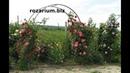 зацвели арки плетистых роз, питомник Полины Козловой,