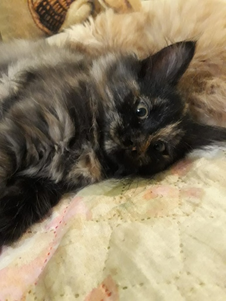 Предлагаю заботливым людям милого котенка Сибирской породы 4 месяца де