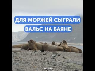 На севере сыграли вальс для моржей