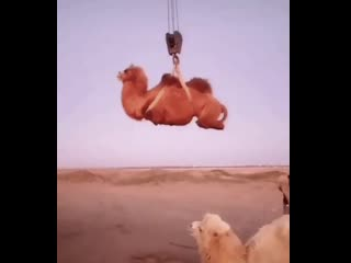 Ничего особенного, просто погрузка верблюдов