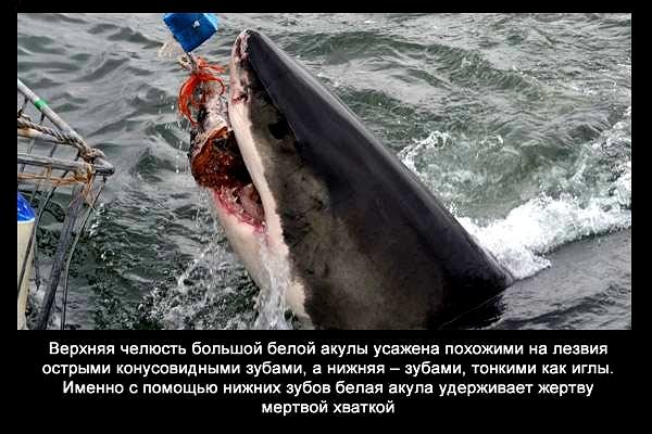 валтея - Интересные факты о акулах / Хищники морей.(Видео. Фото) 2SJouARSl_g