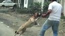 5 Cтрашных и ужасных несчастных случаев, нападения собак на людей, снятые на камеру. Атаки питбулей!