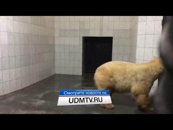 Белая медведица Аврора осваивается в зоопарке Ижевска
