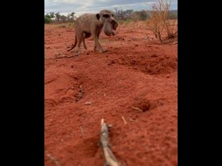 Meerkat moved 4 pups around the burrow system. these pups are estimated to be only 4/5 days old