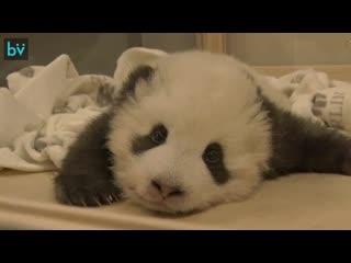 Знакомьтесь, это детеныш большой панды из Берлинского зоопарка. И он иногда испытывает проблемы с икотой