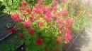Монарда лечебное растение