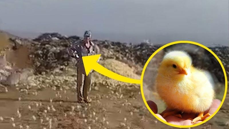 Люди Выбросили Яйца на Свалку Но Позже из Них Вылупились Тысячи Цыплят