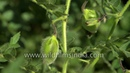 Green Chickpea, chana or gram in India: most important rabi pulse crop