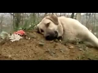 Kangal dog💕 visits deceased owner cemetery. and wants to stay close