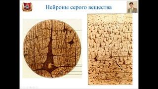Лекция № 9.  Центральная нервная система. Лекция по гистологии.