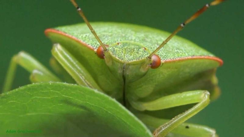 Odorek zieleniak Palomena prasina Green shield bug