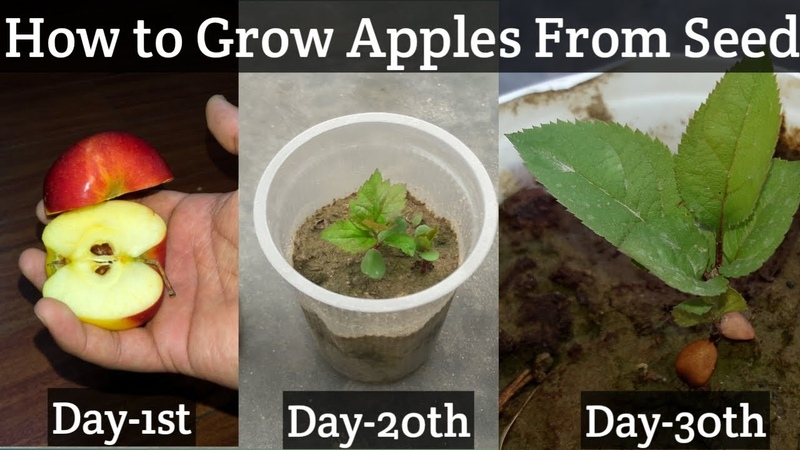 How To Grow An Apple Tree From Seed | Easy Way