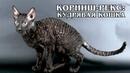 КОРНИШ-РЕКС Кучерявая порода кошек с именем кролика Интересные факты про породы кошек