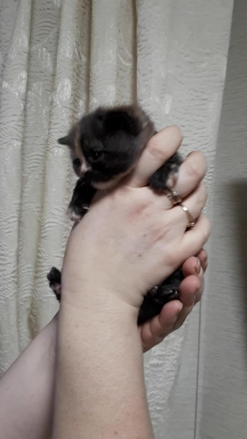 Британская кошка черепахового окраса №2 с питомника мирасинель mirasinel