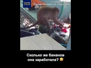 Дикая обезьяна пытается стирать одежду