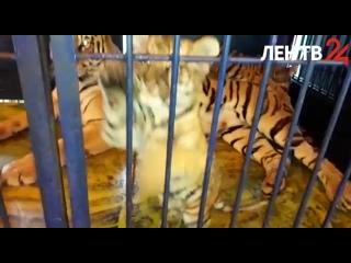 На «Авито» продают бенгальских тигрят