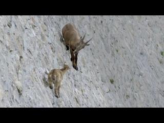 Альпийский горный козёл ползет с малышом по отвесной стене плотины