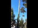 Валка дерева сосны, с завешиванием частей.