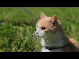 Правила выгула кошек