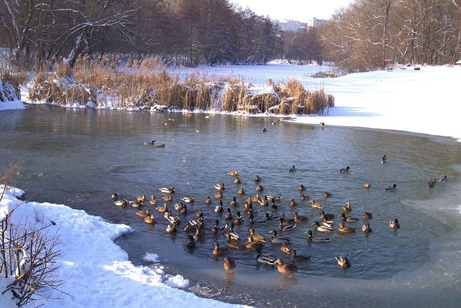 Поганка, хохотунья и лысуха зимуют в этом году в Курской области