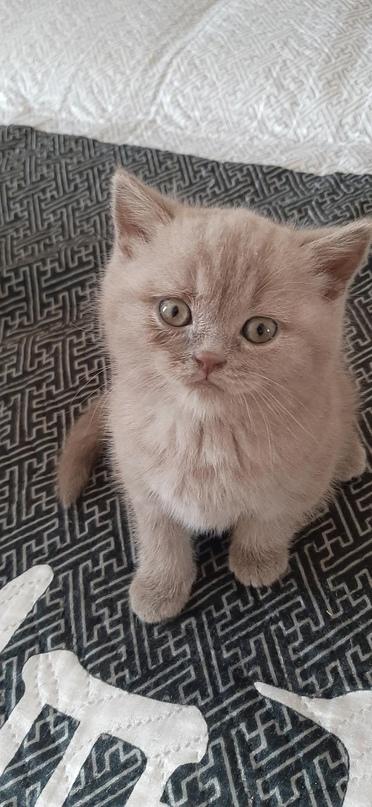 Купить шотландских котят, девочки. С | Объявления Орска и Новотроицка №16731