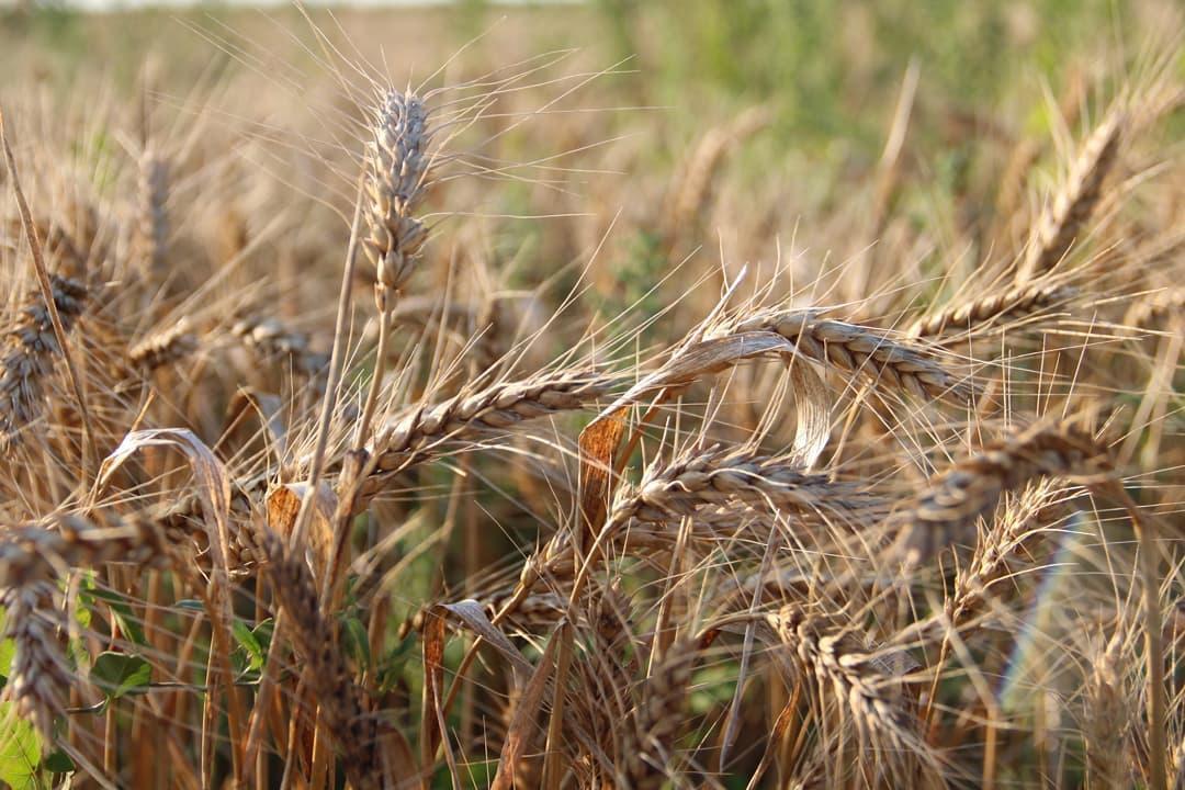 В Петровском районе зерновые и зернобобовые культуры в аграрных хозяйствах убраны на площади 49 676 гектаров