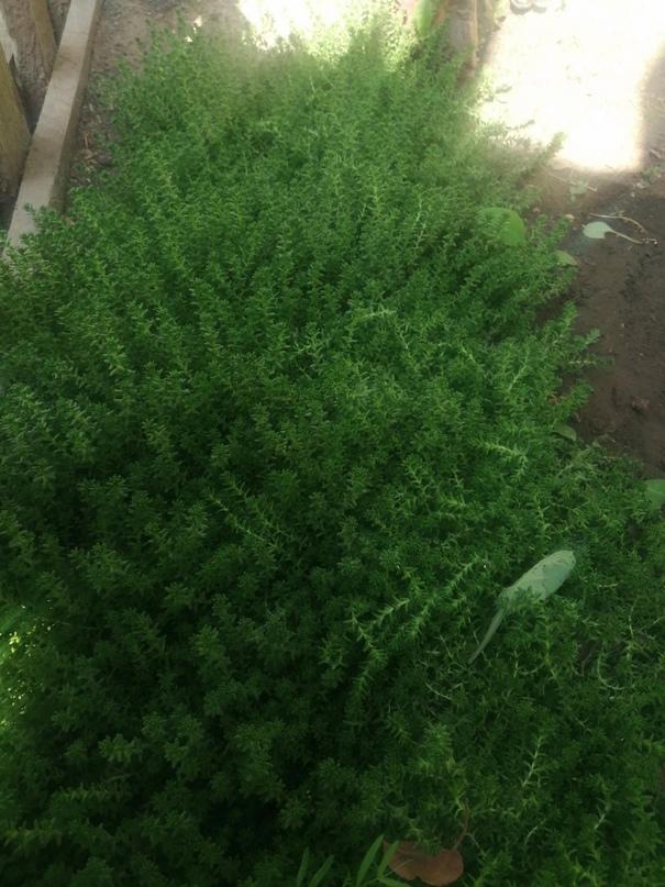Почвопокровное растение   Объявления Орска и Новотроицка №17097