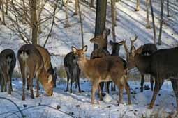 В  лесах региона считают копытных и пушных животных