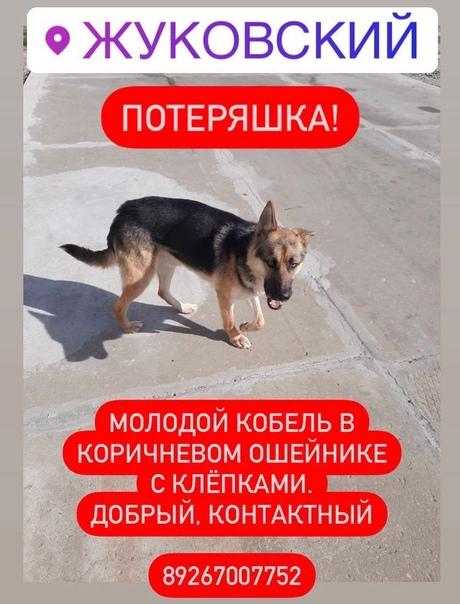 Найдена собака в Жуковском Срочно ищем хозяев...