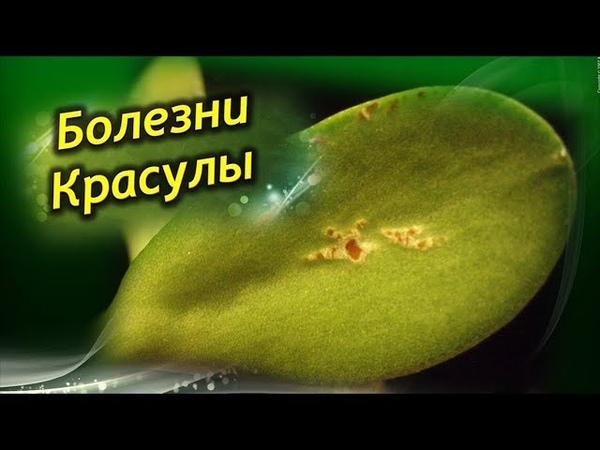 Денежное дерево ЗАБОЛЕЛО Болезни и способы лечения Толстянки