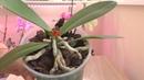 ОСТОРОЖНО - ТОРФСТАКАН! Сгнила точка роста на орхидее! / Пенёк опять ОЖИЛ!