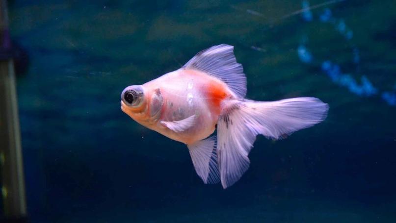 Рыбка телескоп: содержание, кормление и совместимость рыбки в ...   455x807