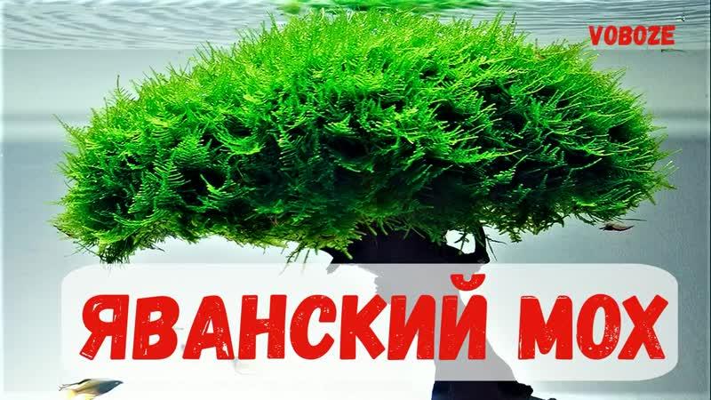 Яванский мох в аквариуме Посадка выращивание разведение как прикрепить на коряге задней стенке