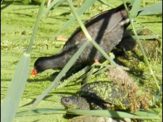Семейство болотной курицы камышницы. Мама, папа и цыплёнок. Внизу европейская болотная черепаха!...