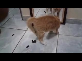 Кот обосрался перед зеркалом. кот и зеркало. cat and the mirror