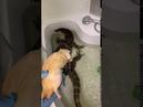 Водяной варан ест большую крысу