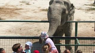 Посетители обожают угощать Дженни! Тайган Visitors love to treat an elephant! Taigan