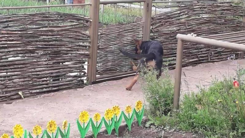 Кот дресировщик немецкой овчарки